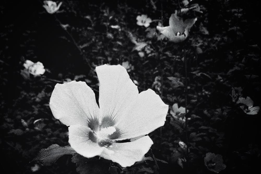 A white flower. Somewhere in Korea. Sony DSC-W100..